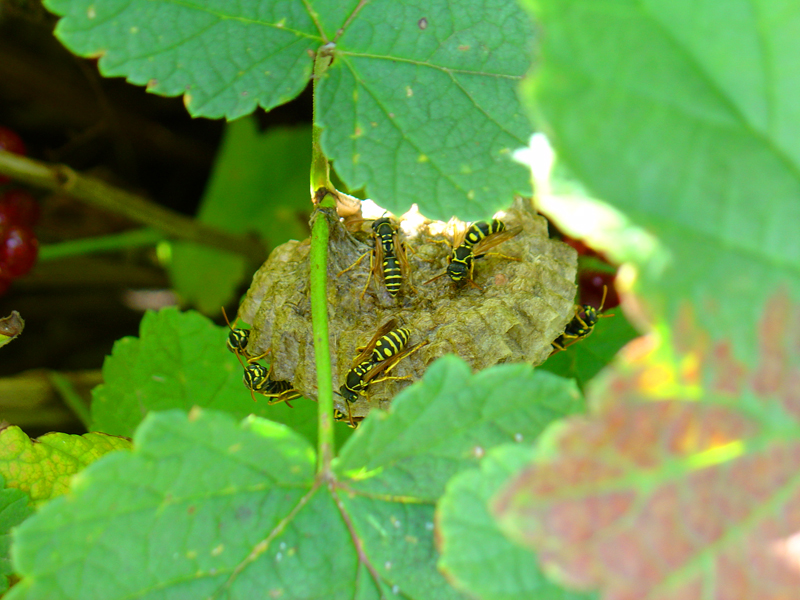 Wasp nest in the red currants