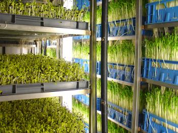 van der Plas Sprouts, growing installation for racks of sunflower seeds and 'green peez'