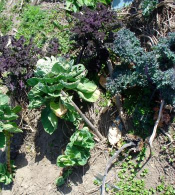 a collection of brassicas