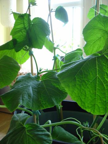 Butternut squash growing in Debra Solomon's indoor kitchen garden