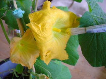 Hand pollinating butternut squash growing indoors