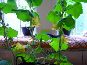 indoor gardening - the squash room divider