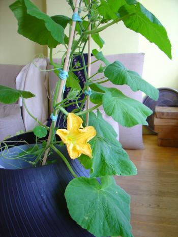 Interior garden, growing squash indoors, first flower week 23