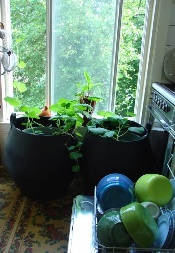 Interior garden, growing squash indoors, week 23
