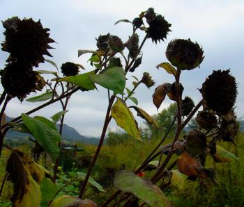 black hole sunflowers