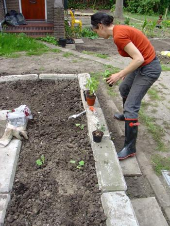 Planting butternut squash in brutalist raised beds at 't Reservaat, Debra Solomon, culiblog.org