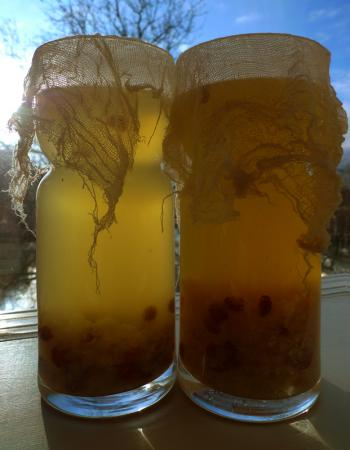 Carafes of water kefir fermenting in the pale winter sun, Debra Solomon, culiblog.org