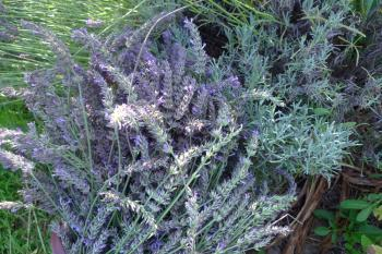 Lavender ready for harvest in the Occitanian kitchen garden, Debra Solomon, Culiblog.org