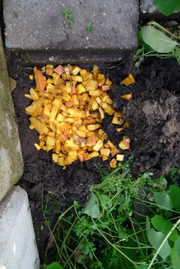 Gifted jack o' lantern is composted into the increasingly fertile soil of the Slim Pickins kitchen garden, Debra Solomon, culiblog.org